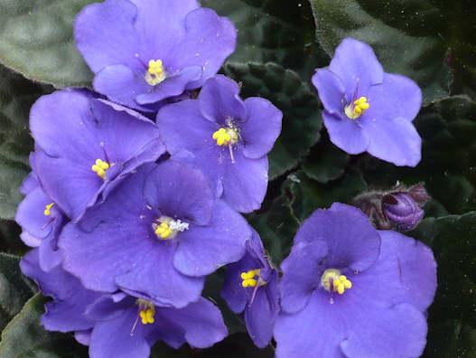 Saintpaulia - Afrikai ibolya virág