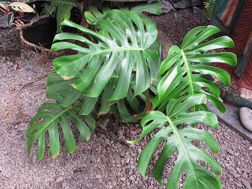 Szobanövények szobanövény fajták