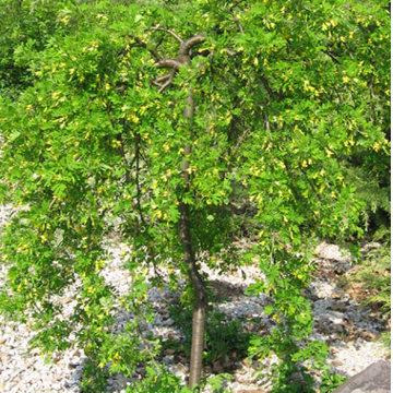 Csüngő ágú borsófa