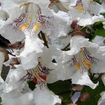 Szivarfa Catalpa bignonioides