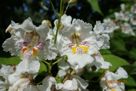 Szivarfa virágok
