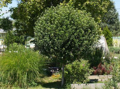 Gömb meggy Prunus fruticosa Globosa