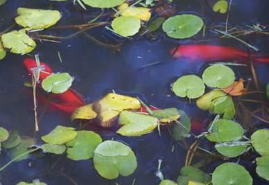 kerti tó, tavi növények