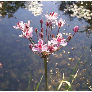 Kerti tó növényei hínárok vízpartra ültethető növények Tavirózsák