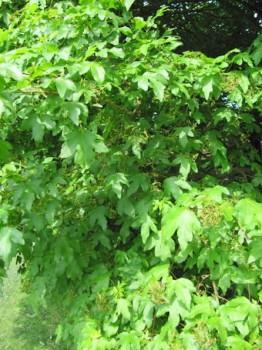 Mezei juhar, Acer campestre