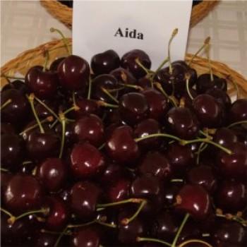 Aida cseresznye - Cseresznyefa oltványok