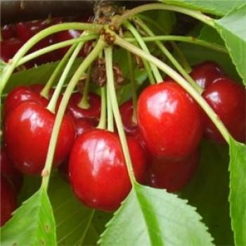 Alex cseresznyefa oltvány - Cseresznye fajták - Gyümölcsfa
