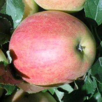 Gála alma - Almafa oltványok