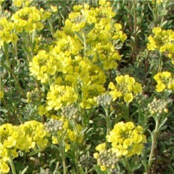 Hegyi ternye virág - Alyssum talajtakaró, sziklakerti évelő