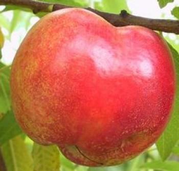 Andosa nektarin őszibarack gyümölcsfa