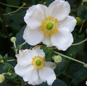 Kínai szellőrózsa - Anemone hupehensis