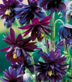 Harangláb sötét bordó fekete - Aquilegia vulgaris Black Barlow