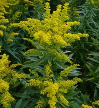 Aranyvessző virága - Solidago