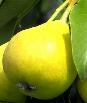 Árpával érő körte gyümölcsfa
