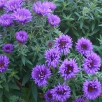 Mirigyes őszirózsa - Aster purple Dome