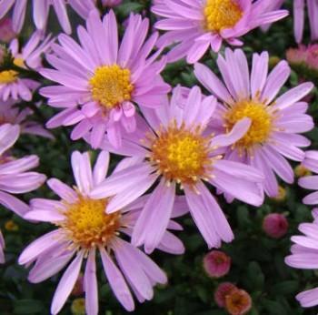 Törpe őszirózsa rózsaszín - Aster dumosus Rozika, Őszi évelő virág