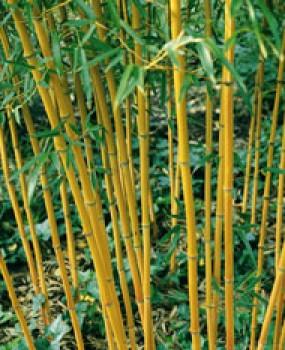 Aranyszárú bambusz Phyllostachys aureosulcata Aureocaulis