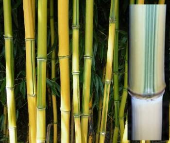Örökzöld növények Zöld csíkos aranysárga bambusz - Phyllostachys aureosulcata Spectabilis