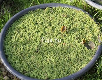Tavi növények Azolla - vízen úszó moszatpáfrány