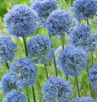 Azurkék díszhagyma – Allium caeruleum (azureum)