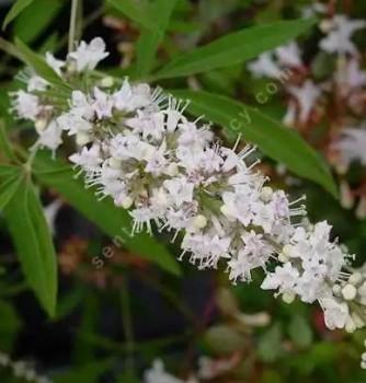 Fehér virágú barátcserje – Vitex agnus-castus Alba