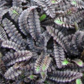 Barna lúgvirág levele - Leptinella - talajtakaró évelő