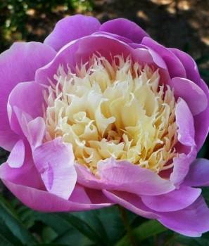 Illatos bazsarózsa rózsaszín sárga – Paeonia lactiflora Bowl of Beauty