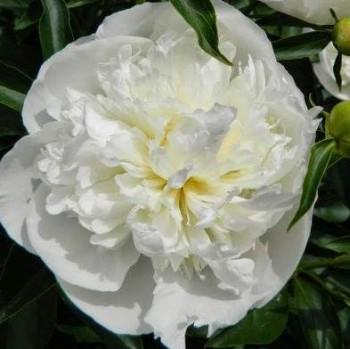 Illatos bazsarózsa fehér Paeonia lactiflora Duchesse de Nemours