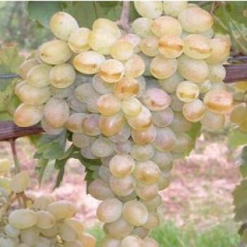 Belgrádi magvatlan szőlő oltvány - Beogradszka Besszemena