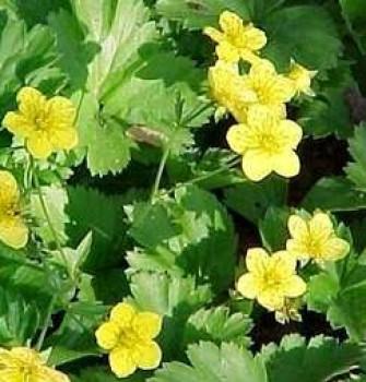 Berki pimpó virágok - Waldsteinia - Árnyéki talajtakaró évelő