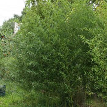 Örökzöld növények Phyllostachys bissetii sövénybambusz