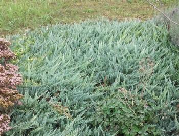 Kék levelű terülő boróka - Juniperus Blue Chip