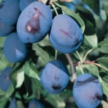 Bluefre szilva gyümölcsfa