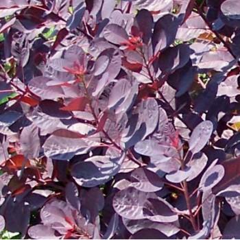 Bordó levelű cserszömörce - Cotinus coggygria Royal Purple - Színes levelű cserjék