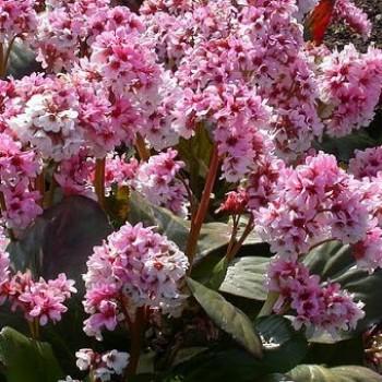 Szívlevelű Bőrlevél Bergenia cordifolia - cserepes évelő virág