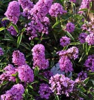 Törpe nyáriorgona lila virágú - Buddleia davidii Free Petite Tutti Frutti