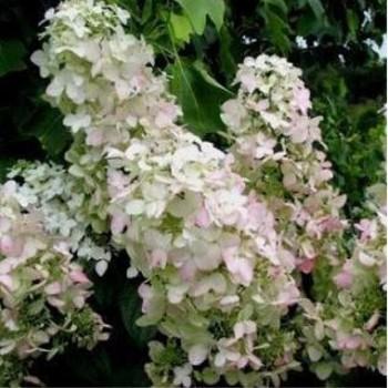 Bugás hortenzia - Hydrangea panniculata Pink Lady