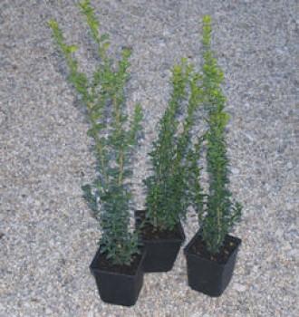 Örökzöld puszpáng cserepes növények - Buxus sempervirens