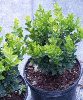 Örökzöld növények Törpe puszpáng cserepes növény - Buxus sempervirens Suffruticosa