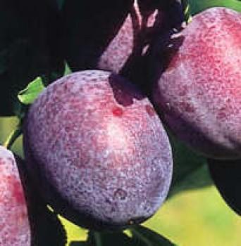 Cacanska lepotica szilva - Szilvafa oltvány - Gyümölcsfa