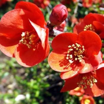 Pompás japánbirs Chaenomeles x superba Crimson and Gold