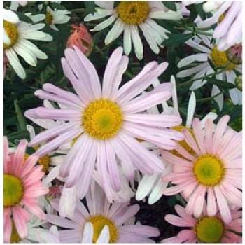 Korai krizantém őszi évelő virág Chrisanthemum clara curtis
