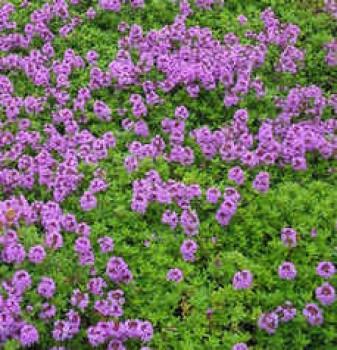 Fűszernövények Citromillatú kakukkfű - Thymus citriodorus Archer's Gold