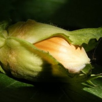 Cosford mogyoró bokor - Mogyoró fajták