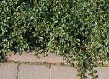 Szőnyeg madárbirs - Cotoneaster