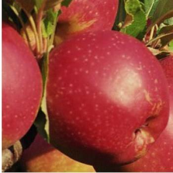 Csány Jonathan almafa oltvány - Alma fajták - Gyümölcsfa