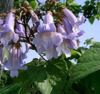 Császárfa - Paulownia tomentosa