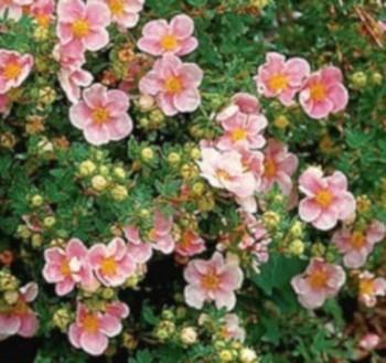 Cserjés pimpó rózsaszín Potentilla fruticosa Glenroy Pinkie