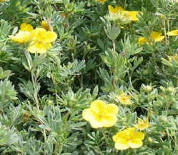 Cserjés pimpó sárga virágok - Potentilla Goldfonger