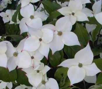 Kínai csillagsom - Cornus kousa var Chinensis
